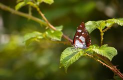 Southern Admiral royalty free stock photos
