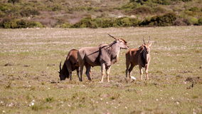 Southern african animals. Eland antilopes grazing between the flowers Royalty Free Stock Image