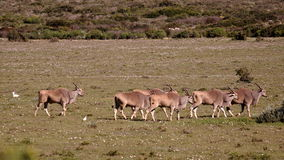 Southern african animals. Eland antilopes at West Coast National Park, South Africa Royalty Free Stock Photos