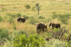 Southern african animals. African elephant breeding herd walking thru the bush Stock Image
