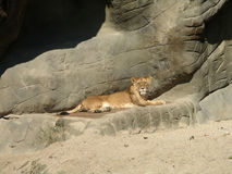 Southern african animals. Lioness relaxing in the sun Royalty Free Stock Images