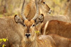 Southern african animals. Waterbuck male posing with his horns Stock Images