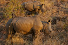 Southern african animals. White rhinos grazing in the morning sun Stock Photos