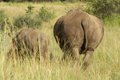 Southern african animals. White rhinos grazing in the morning sun Royalty Free Stock Photo