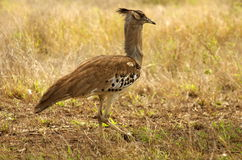 Southern african birds Royalty Free Stock Photos