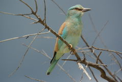 Southern african birds. Lilac-breasted roller alert sitting on a twig Stock Images
