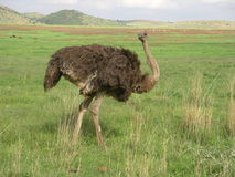 Southern african birds. Ostrich female feeding at a National Park Royalty Free Stock Images