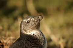 Southern african birds. African pinguin bathing in the sun Stock Image