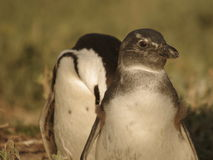 Southern african birds. African pinguin bathing in the sun Royalty Free Stock Photography