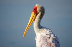 Southern african birds. Portrait of a yellow billed stork Stock Photo