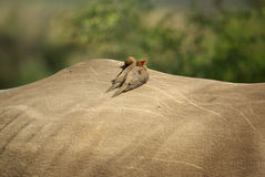Southern african birds. Red-billed oxpecker resting on a rhino Royalty Free Stock Photography