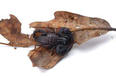 African venom Scorpion isolated on white background Stock Photography