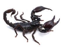 African venom Scorpion isolated on white background Stock Photos