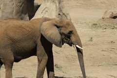 Southern African bush elephant in zoo Royalty Free Stock Images