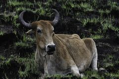Southern African Cattle Nguni Bull bos sp. In Burnt Field stock images