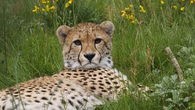 Cheetah with yellow flowers. Southern African cheetah lying in grass with yellow flowers Stock Photo