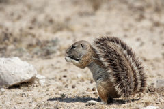 Southern African Ground Squirrel. (Xerus inauris) in the Etosha National Park, Namibia stock images