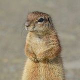 Southern African Ground Squirrel Royalty Free Stock Image