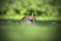 Southern African guinea fowl close up. Southern African guinea fowl sitting low in the grass closeup Stock Image