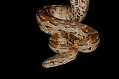 Southern African python Royalty Free Stock Photo