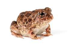 Sand frog. A southern African sand frog (Tomopterna cryptotis) on white Royalty Free Stock Images