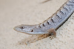 Southern alligator lizard. A Southern Alligator lizard, different from the blue bellie lizard Royalty Free Stock Photos