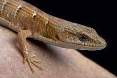 Free Southern Alligator Lizard (Algeria Multicarinata) Royalty Free Stock Photography - 75273167