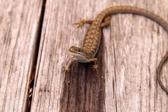 Southern Alligator lizard Elgaria multicarinata. Sunning itself on a wood picnic table royalty free stock image
