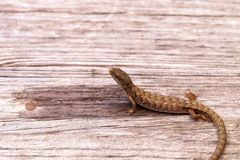 Southern Alligator lizard Elgaria multicarinata. Sunning itself on a wood picnic table stock photo