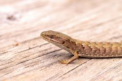 Southern Alligator lizard Elgaria multicarinata. Sunning itself on a wood picnic table stock image