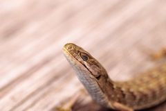 Southern Alligator lizard Elgaria multicarinata. Sunning itself on a wood picnic table royalty free stock photography