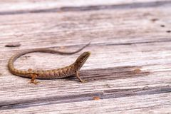 Southern Alligator lizard Elgaria multicarinata. Sunning itself on a wood picnic table royalty free stock photo