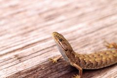 Southern Alligator lizard Elgaria multicarinata. Sunning itself on a wood picnic table stock photos