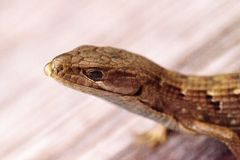 Southern Alligator lizard Elgaria multicarinata. Sunning itself on a wood picnic table stock images