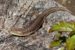 Southern Alligator Lizard Royalty Free Stock Photos