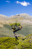 Southern Alps. Lonely tree on the very top of Key Summit in the heart of National Park Fiordland, Southern Island, New Zealand royalty free stock images