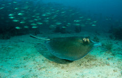 Southern Atlantic Stingray Royalty Free Stock Photography
