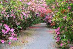 Southern Azalea Garden Charleston SC. Southern spring azalea garden with pedestrian walkway in plantation, Charleston South Carolina royalty free stock images