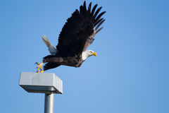 Southern Bald Eagle (Haliaeetus leucocephalus)  Stock Photography