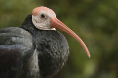 Southern Bald Ibis Royalty Free Stock Image