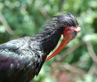 Southern Bald Ibis Stock Photo
