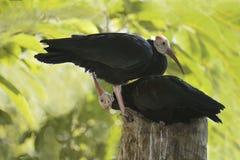 Southern Bald Ibis Stock Image
