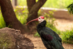 Southern bald ibis called Geronticus calvus Royalty Free Stock Photos