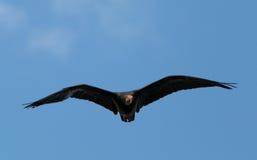 Southern bald ibis Royalty Free Stock Photos