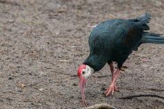 Southern bald ibis Royalty Free Stock Image