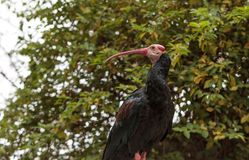 Southern bald ibis known as Geronticus calvus Royalty Free Stock Photography