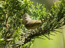 Southern Beardless-Tyrannulet, Camptostoma obsolet. A tiny crested song bird of the tyrant flycatcher family sitting on green branch, Peru. The range is from Stock Photos