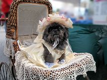 Southern Belle Shih Tzu. Black Shih Tzu plays dressup in a Scarlett O'Hara type gown, riding in an antique wicker carriage Stock Image