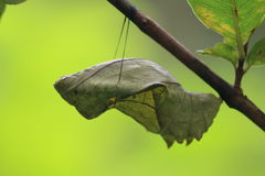 Southern Birdwing pupal stage Royalty Free Stock Photos