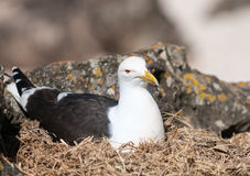 Southern black-backed gull Royalty Free Stock Photography